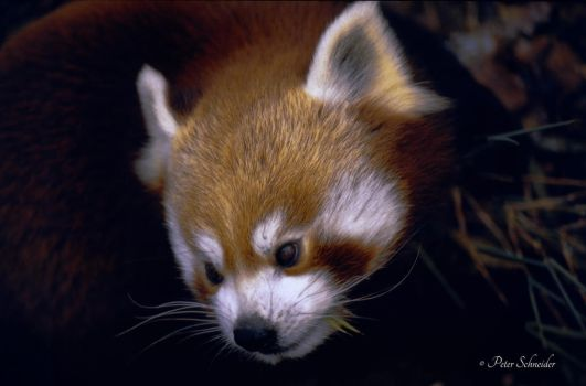 Red panda. by Phototubby