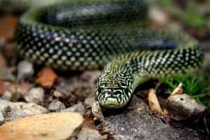Speckled Kingsnake 2 by FabulaPhoto