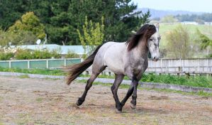 Andalusian Stallion Stock by xxMysteryStockxx