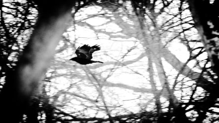 Crow in Alcott Wood 20180303 by graphic-rusty