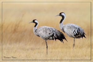 Tranquility- common cranes by Jamie-MacArthur