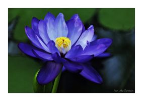 Blossoming waterlily . by 999999999a