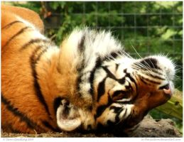 Snoozing Tiger by In-the-picture