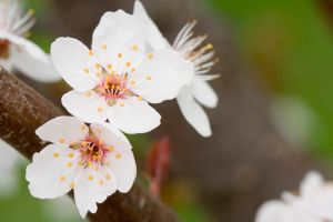 Double-Blossom by amarand