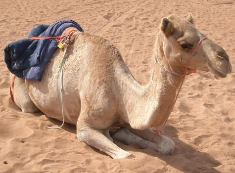 S-stock: another camel by shiama-stock