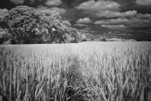 Young wheat by hrzn