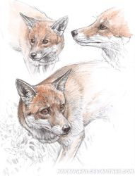 Fox study by makangeni