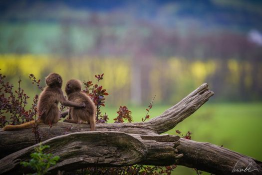 Young Geladas by vetchyKocour