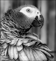African Grey by Bootcoot
