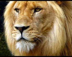 Male Lion by Benjamin12282