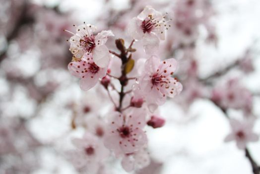 More cherry blossoms... :3 by Blackiespots