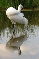 Reflected Whooping Crane by papatheo