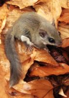 Northern Flying Squirrel by Nocturnalelf