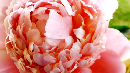Peony in Bloom by TheNewSun