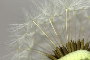 Dandelion VII - The other side by AlejandroCastillo