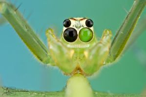 Jumping Spider - Lyssomanes sp. by ColinHuttonPhoto