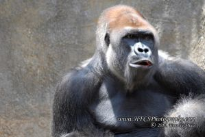 Sliverback Gorrilla-FtWorthZoo by HFCS