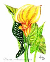 Golden Calla Lily by LoVeras
