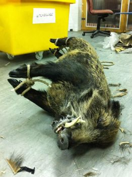 Boar after fabrication by lizthompson