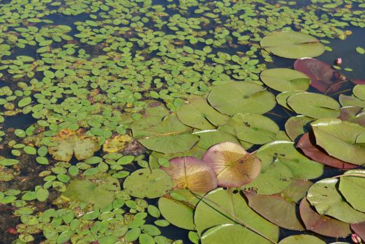 Lilypads at the Swamp by Tailgun2009
