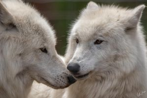 Loving Arctic Wolfes by ChristopherMarx