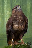 Babs the European Buzzard by Takarti