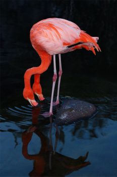 Flamingo1 by RBcolor