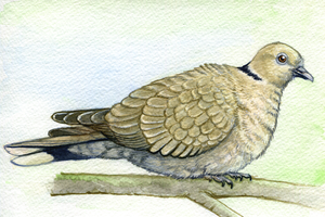 Collared Dove - Commission by twapa