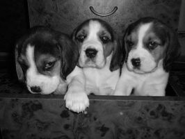 our beagles.. by valeria22