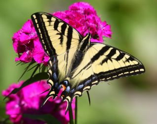 Swallowtail  On Sweet William by swashbuckler