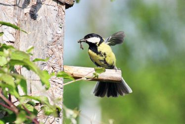 Great tit bringing a caterpillar by sourpepper