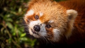 Red Panda Face by cathy001
