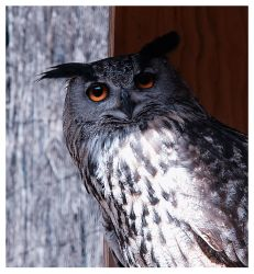 Owl portrait by Nataly1st