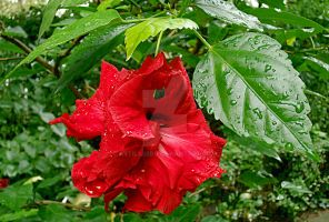 Red Hibiscus and water drops by attilasebo