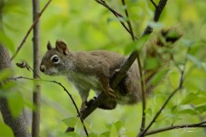 Squirrel in greenery 1 by themanitou