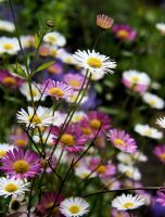 Daisies by WorldII