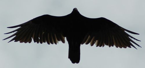 Vulture Silhouette 3 by SalsolaStock