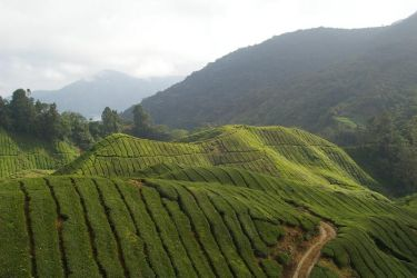 tea plantations by brandybuck
