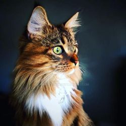 Ember the Maine Coon by WindSeeker