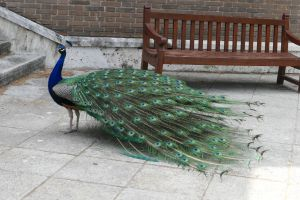 pavo real_2 by abelgalois