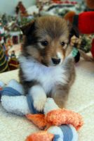 Another Sheltie Puppy by fewofmany