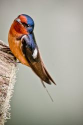 Barn Swallow 2 by CharlesWb