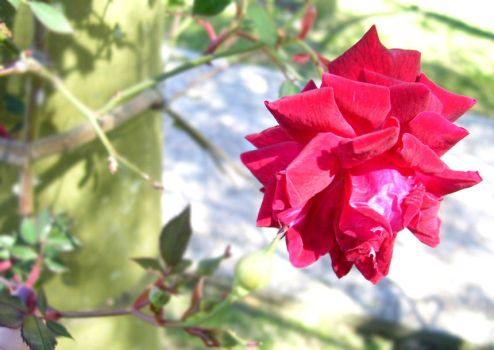 Rose by photoshop-stock