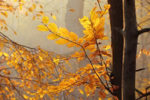 Autumn with hornbeam II by rosaarvensis