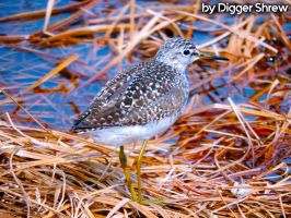 Calidris temminckii by DiggerShrew