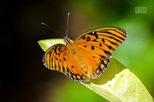 Gulf Fritillary by 2753Productions