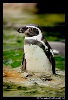 Penguin Pose II by TVD-Photography