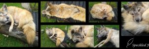 Soft Mount Taxidermy Coyote: Big Bad Woof by Speckled-Feather-UK