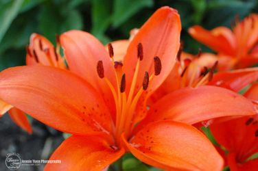 Orange Lily Close-Up by sweetcivic
