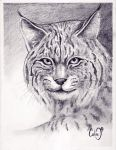 bobcat by callinitlikeitis
